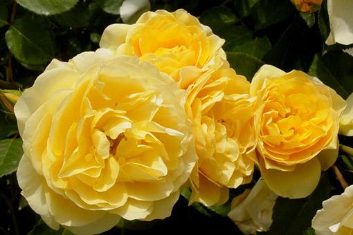 rose english yellow 39 graham thomas 39 rosa ausmus. Black Bedroom Furniture Sets. Home Design Ideas