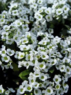 Photo: Sweet Alyssum