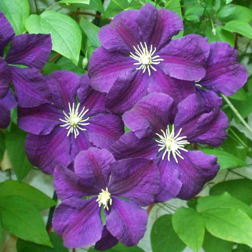 clematis 39 etoile violette 39 clematis viticella 39 etoile. Black Bedroom Furniture Sets. Home Design Ideas