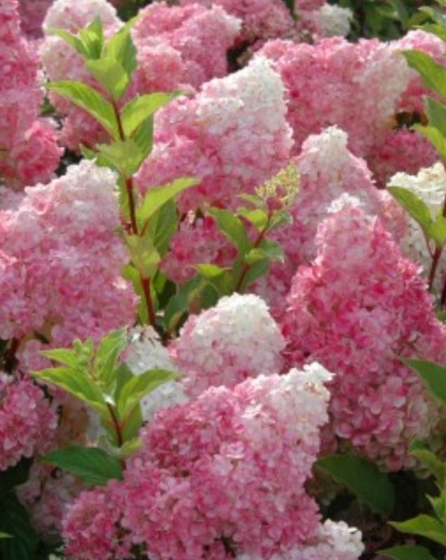 Vanilla Strawberry Hydrangea (Hydrangea paniculata u0026#39;Renhyu0026#39; PP20,670) : myGarden.org