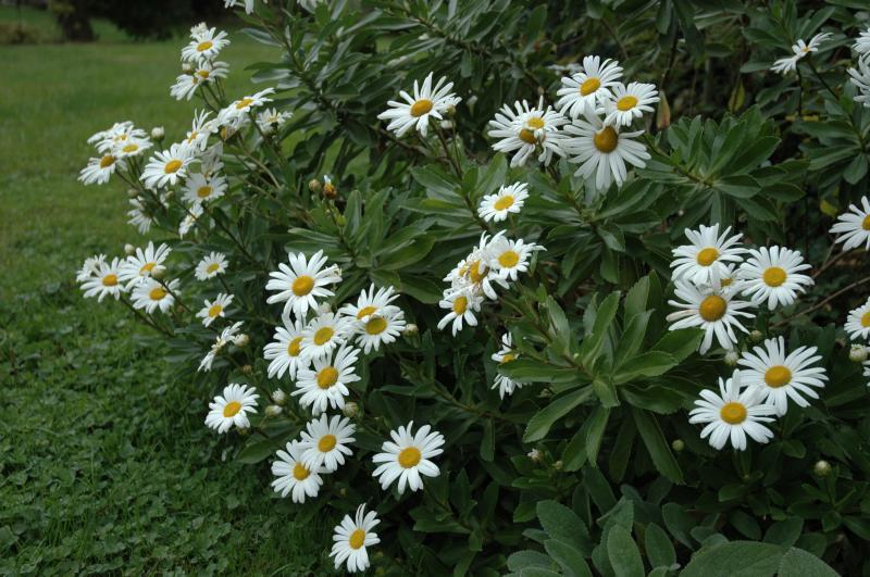 Montauk Daisy Nipponanthemum Nipponicum