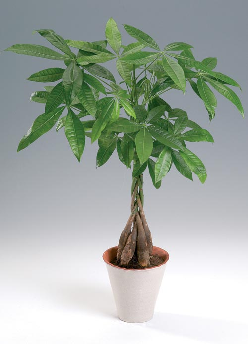 Money Tree Pachira Aquatica MyGardenorg