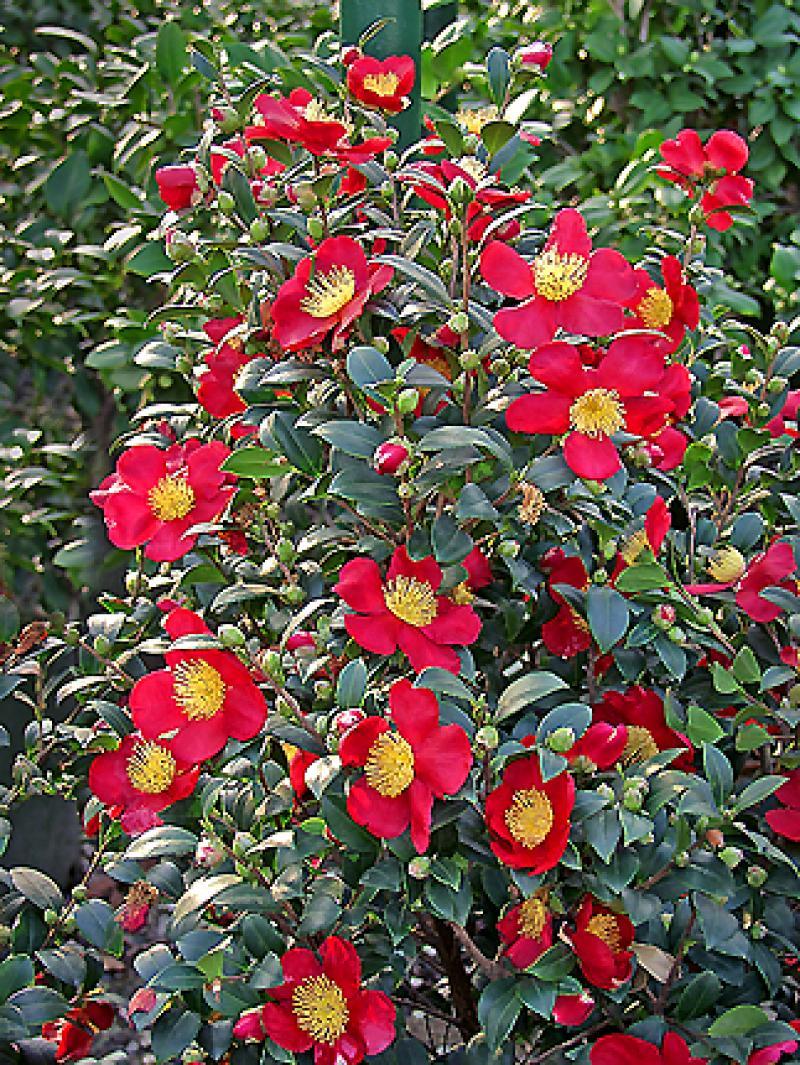 Camelia Yuletide Camellia Sasanqua Yuletide