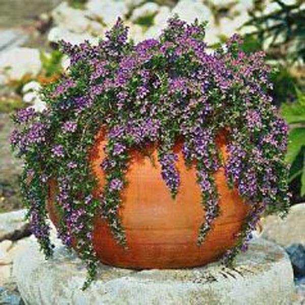 creeping rosemary rosmarinus officinalis 39 prostratus. Black Bedroom Furniture Sets. Home Design Ideas