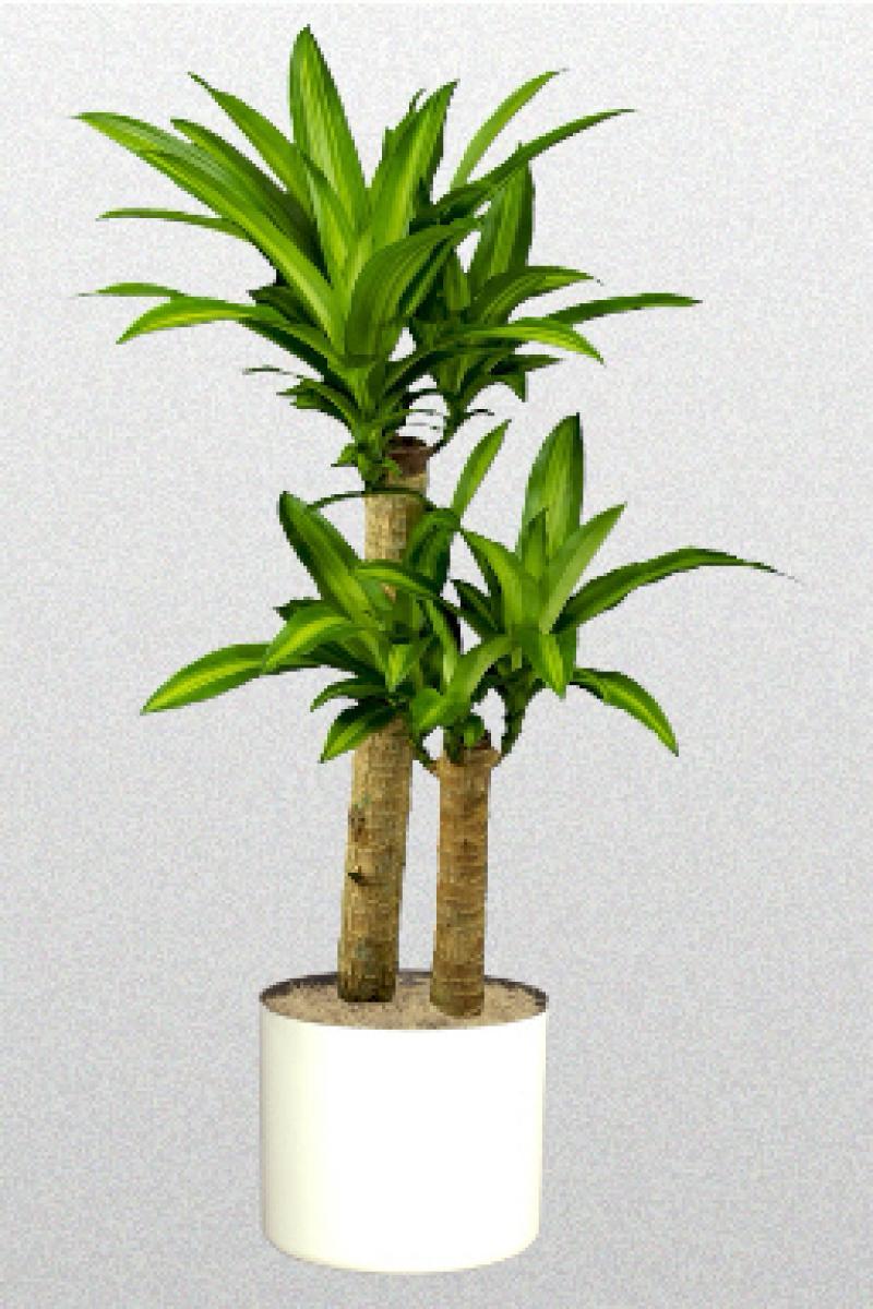 Corn Plant corn plant (dracaena fragrans (massangeana)) | mygarden
