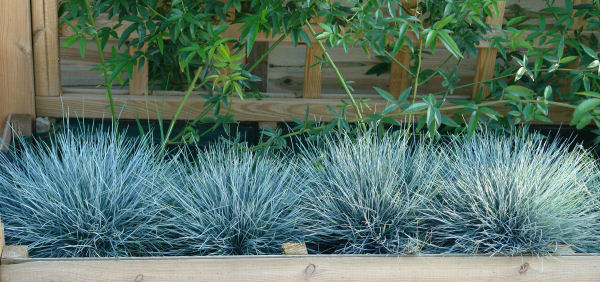 Image result for festuca glauca 'elijah blue'