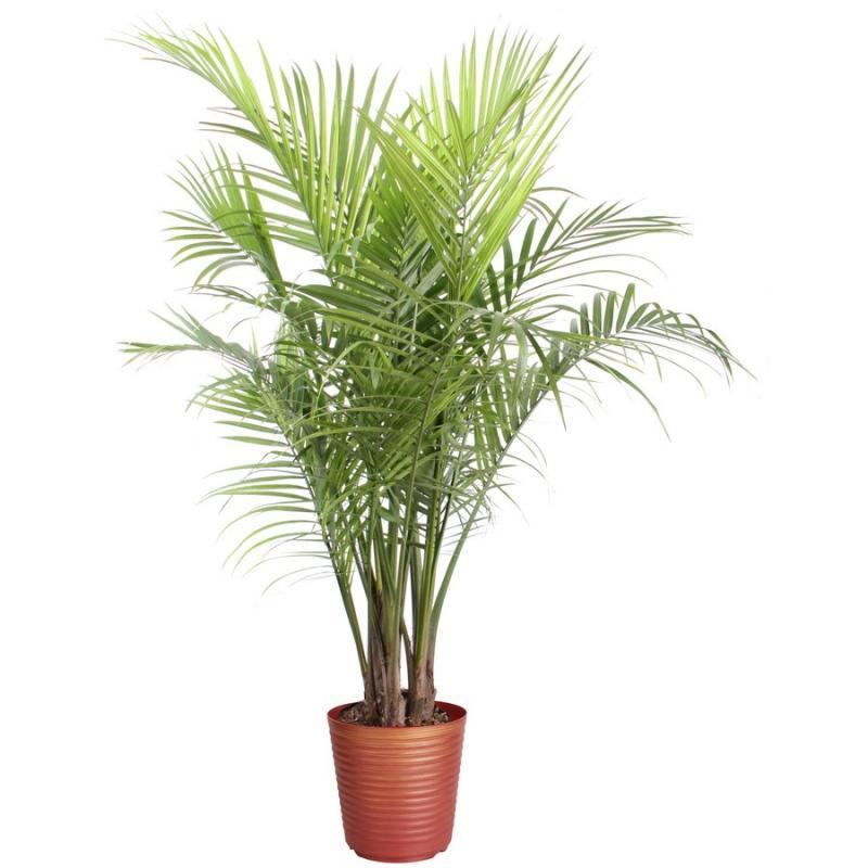Majesty palm ravenea rivularis for House plant maintenance