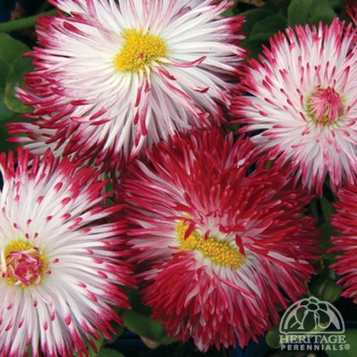 Habanera english daisy bellis perennis habanera white with red photo habanera english daisy mightylinksfo