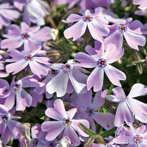 Phlox subulata 'Emerald Cushion Blue' (Phlox subulata ...