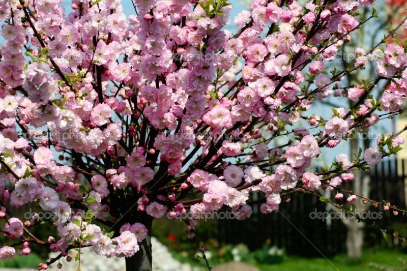 Double Flowering Cherry-Almond (Prunus triloba) | myGarden.org