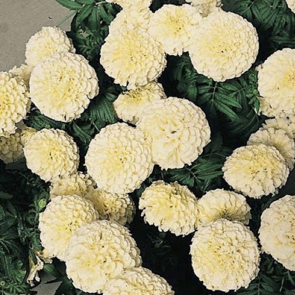 White marigold tagetes erecta mygarden white marigold mightylinksfo